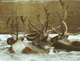 Porcupine Caribou Herd crossing the river